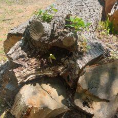 sc-blog-2019-jonkershoek-treefelling-038